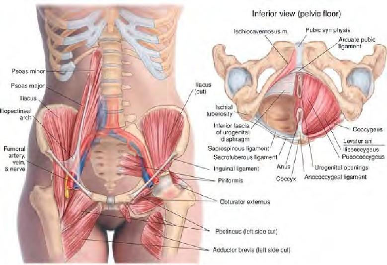 Muscles of the anterior pelvis and pelvic floor